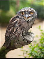 BNPS.co.uk (01202) 558833<br /> Picture: Peter Willows<br /> <br /> Tawny Frogmouth bird Fleur is a mother at 174-years-years old <br /> <br /> These old birds are thought to be the oldest parents in the world with their combined ages of a staggering 372 years. The two Tawny Frogmouth birds from Australia have recently hatched their eighth chick despite their impressive ages. Experts believe the oldest of the breed in captivity was 30, which means that the plucky male bird named Gerben has already beaten the previous record with his impressive 33-years, which translates to an incredible 198 in human years. Tawny Frogmouths - Podargus strigoides in Latin - are only expected to live for an average of up to 14 years in the wild. The duo live at Paultons Park near Romsey in Hampshire with their nine-week-old chick Willow, who experts hope will follow in her parents' footsteps.