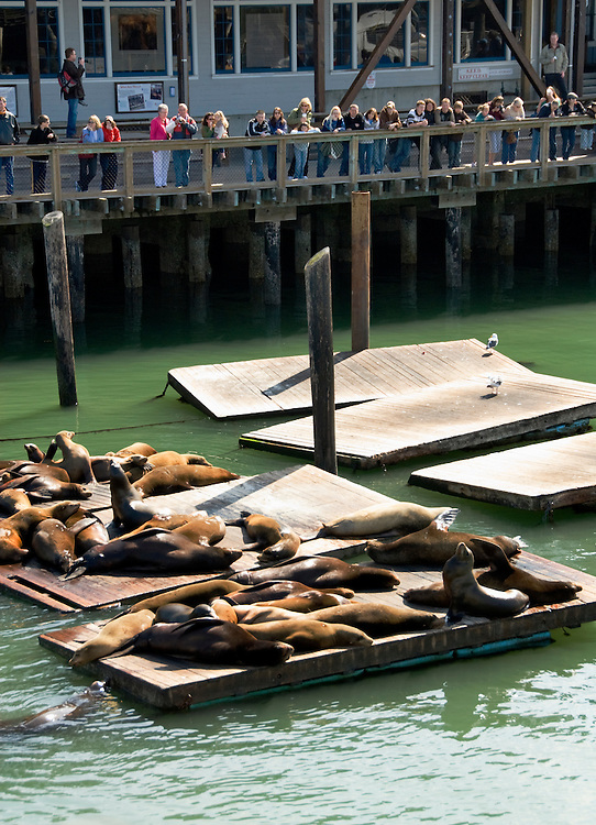California, San Francisco:  The sea lions that congregate at Pier 39.Photo #: 14-casanf78152.Photo © Lee Foster 2008