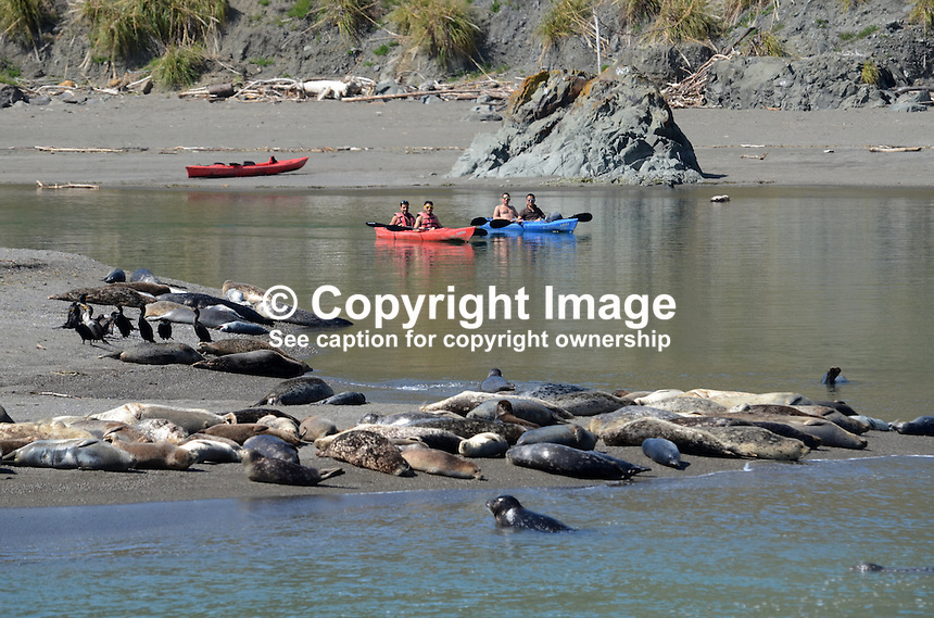 Canoeists at the estuary of Russian River near Jenner, Sonoma County, California, USA, keep their distance from a colony of seals and their pups basking on a a sandbank. 201304292119<br /> <br /> Copyright Image from Victor Patterson, 54 Dorchester Park, Belfast, UK, BT9 6RJ<br /> <br /> Tel: +44 28 9066 1296<br /> Mob: +44 7802 353836<br /> Voicemail +44 20 8816 7153<br /> Skype: victorpattersonbelfast<br /> Email: victorpatterson@me.com<br /> Email: victorpatterson@ireland.com (back-up)<br /> <br /> IMPORTANT: If you wish to use this image or any other of my images please go to www.victorpatterson.com and click on the Terms &amp; Conditions. Then contact me by email or phone with the reference number(s) of the image(s) concerned.