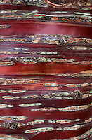 Prunus serrula tree bark detail (Birch Bark Cherry) full frame, stripes and markings, natural patterns