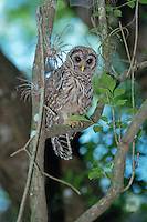 A screech owl rests in a tree in Jonathan Dickenson State Park in Jupiter, Florida.