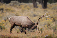 Bull elk during the autumn rut raking sage and rabbitbrush