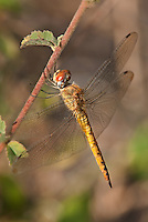 343000004 a wild female wandering glider dragonfly pantala flavescens hangs from a plant vine at santa ana national wildlife refuge rio grande valley texas united states