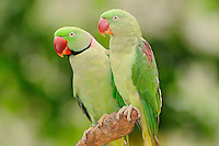 Indian Ringneck Parrot (Psittacula krameri manillensis) male and female. Captive