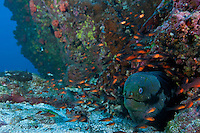Panamic Green Moray and Cardinalfishes