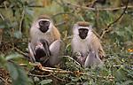 black-faced vervet monkies, Nakuru National Park