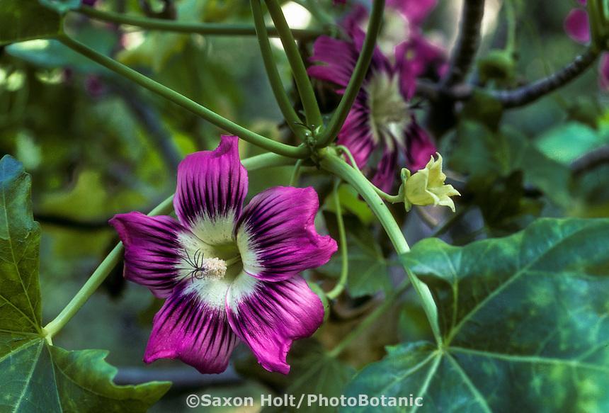 Lavatera assurgentiflora ssp glabra (Island Mallow) purple flower blossom