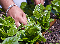 A gardener's hands working among mlabar spinach plants ( Basella cordifolia)