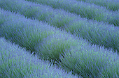 Pattern in rows of Lavender, Avignon de Provence, France.