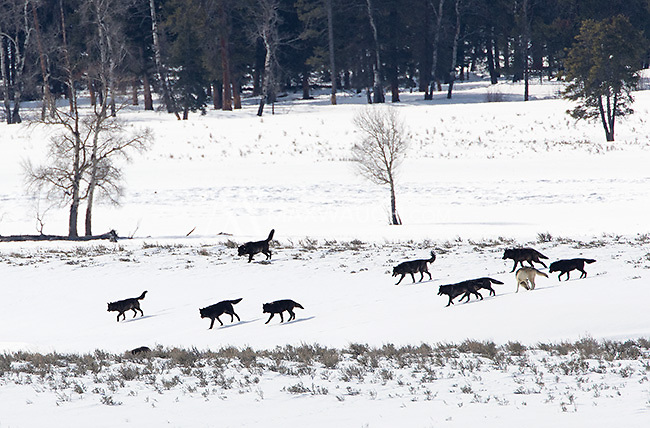 The Mollies Pack entered the Lamar Valley on this day.  We saw a total of 16 wolves together, the most I've ever seen at one time.