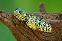 489550005 a captive usambara mountains eyelash bush viper atheris ceratophora sits coiled on a tree stump species is newly recorded and native to the usambara mountains of tanzania