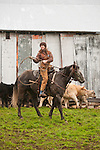 "Gabrielle Emerson gathers her lasso to rope a calf during cattle marking and branding with the Dell""Orto family in the Sierra Nevada Foothills of California. (Mattley Barn)..**usage by any anti-livestock individual, group, publication, websites, e-mail or anything similar is prohibited."