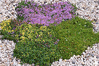 Mixture of creeping groundcover Thymes Thymus praecox Coccineus in bloom with other creeping thymes growing in gravel, variegated forms, in pink flowers, variety
