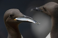 Guillemots with fish Uria aalge Saltee Islands Ireland