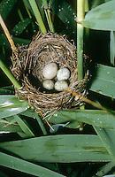 Kuckuck, Ei, Eier, Gelege im Nest, Kuckuck hat sein etwas größeres Ei in das Napfnest zu den Eiern eines Teichrohrsänger gelegt, Brutparasitismus, Cucullus canorus, cuckoo
