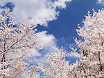 Blooming cherry trees over blue sky background