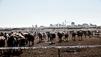 Beef cattle waiting to be feed stand in pens at a feedyard in South West Kansas. In the background is a huge grain storage elevator containing supplies of cattle feed. A feedyard is part of the factory farming process where animals are fattened up prior to slaughter. They are mostly fed on corn or corn dervived products gaining between 2.5 and 4.5 pounds per day. 25% of all American beef is produced in Kansas.