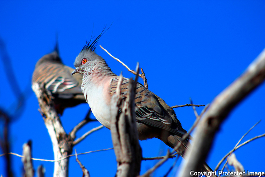 Crested Pigeon, Karijini National Park, Pilbara Western Australia