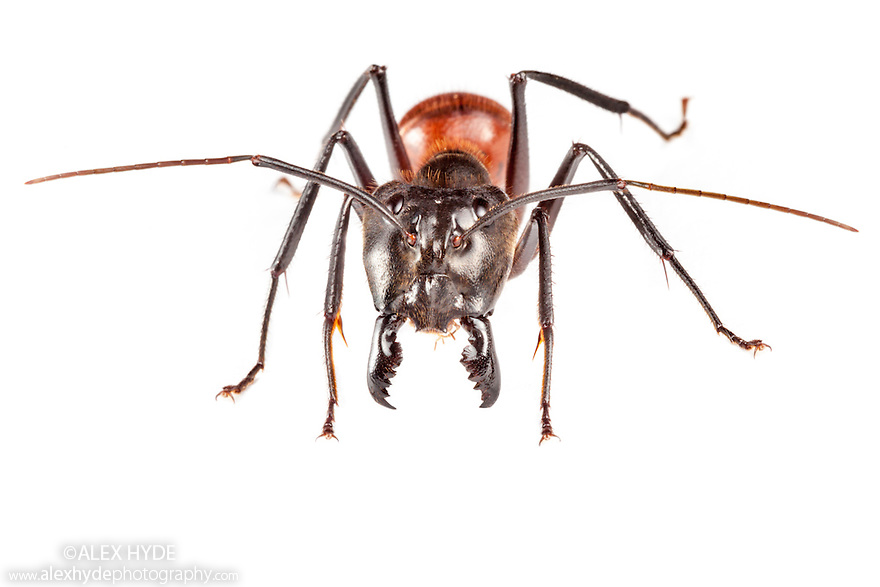 Giant Forest Ant {Camponotus gigas} soldier. Thisspecies can reach 3cm long. Photographed in mobile field studio on a white background in the centre of Maliau Basin, Sabah's 'Lost World', Borneo, Malaysia.