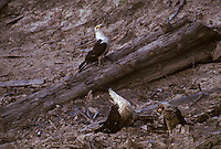 Yellow-headed Caracara, Milvago chimachima, with fledgling on a riverbank in the Amazon; Peru