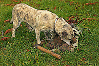 Truffle dog with Truffles (Tuber melanosporum), France