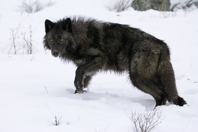 Grey Wolf standing on a snow covered hill - CA