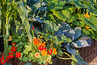 Edible flower herb Tropaeoleum nasturtiums variegated Alaska, zucchini courgette squash vegetable, corn, growing in raised bed container garden mixture of flowers and veggies