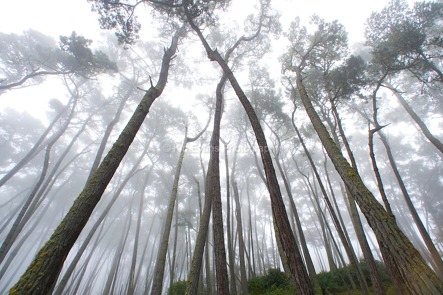 Fog in a Monterey Pine Forest