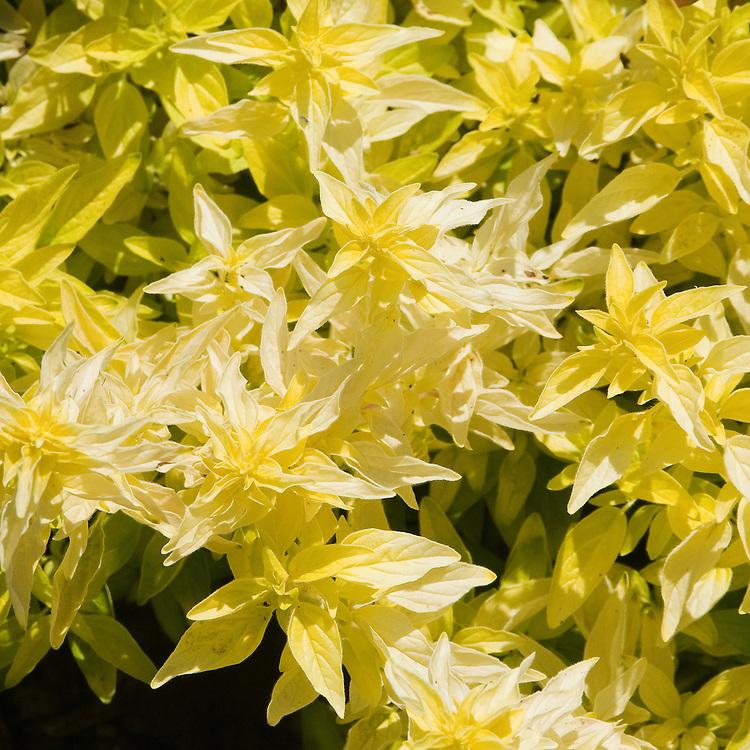 Golden marjoram (Origanum vulgare 'Aureum'), early July.
