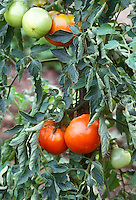 Tomato Big Boy hybrid, showing various stages of vegetable ripeness, from green tomatoes to yellow to ripe red