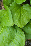 Eastern Skunk Cabbage, Clumpfoot Cabbage, Foetid Pothos, Meadow Cabbage, Polecat Weed, Skunk Cabbage, or Swamp Cabbage (Symplocarpus foetidus), commonly known as simply Skunk Cabbage, is a low growing, foul smelling plant that prefers wetlands.