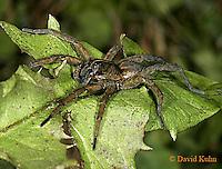 1021-06xx  Fishing Spiders - Nursery Web Spider - Dolomedes spp. - © David Kuhn/Dwight Kuhn Photography
