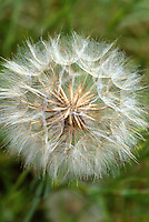 Dandelion Fluffy Seedhead Closeup  Taxacetum officinale, weed that is everywhere on earth