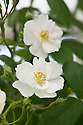 Rosa 'Rambling Rector',  a creamy white rambling rose. Sometimes also known as 'Seagull'. First introduced by The Daisy Hill nurseries of Newry in Northern Ireland in about 1900.