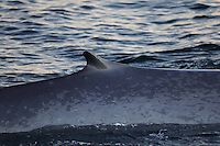 Blue whale Balaenoptera musculus view of dorsal fin showing classic mottled colouring Spitzbergen Barents sea North east Atlantic