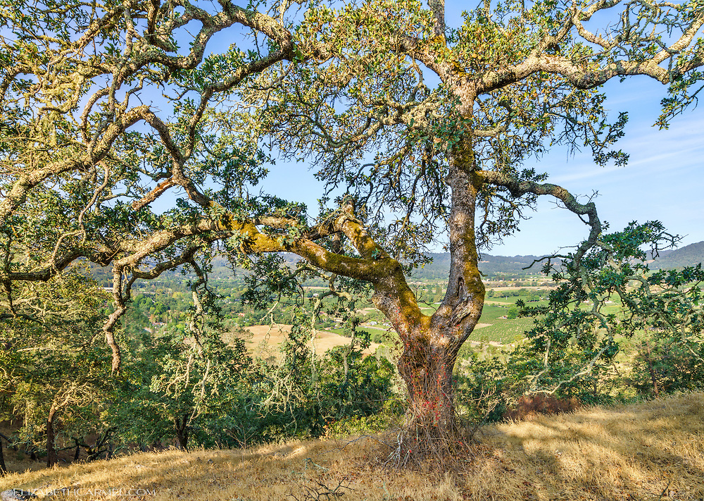 Oat Hill Oak