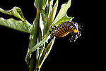 Argus Tortoise beetle larva Cholymorpa cassidae