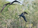 Male magnificent frigatebirds, Fregata magnificens, near the mouth of the Tarcoles River, Costa Rica