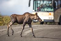 Moose calf walks across the Denali Park Road, as tourists look on from a nearby tour bus, Denali National Park, Alaska.