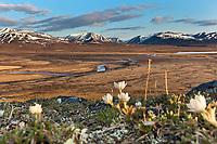Wind flower, Nigu river, Brooks range mountains, Gates of the Arctic National Park, Alaska.