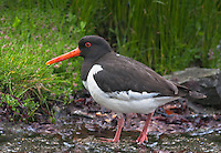 Oystercatcher at the Norwegian bird-island Runde