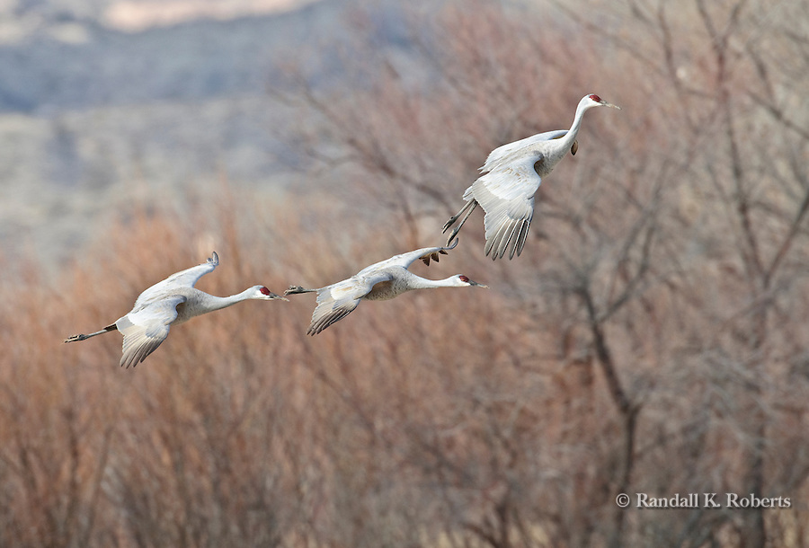 Sandhill Cranes (Grus canandensis) prepare for landing at the Bosque del Apache National Wildlife Refuge, near Socorro, New Mexico.