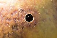 Exit hole in oak marble gall (Andricus kollari). Surrey, UK.