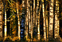 Shade &amp; Shadow. Aspen trees, Flagstaff, Arizona