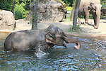 Foto: VidiPhoto<br /> <br /> ARNHEM - Een bijzondere dag voor de twee olifanten van Burgers' Zoo in Arnhem vrijdag. Voor het eerst in een jaar tijd konden de dikhuiden weer in bad. De olifanten weigerden al die tijd gebruik te maken van het bassin, omdat ze het water te vuil vonden. De dieren zijn namelijk zeer kritisch op de kwaliteit van hun zwemwater. Woensdag werd de poel leeggepompt en schoongemaakt en donderdag voorzien van nieuw water. Een enorme klus omdat er 100.000 liter water in het 12 meter lange, 6 meter brede en 4 meter diepe bassin moet. Pas vrijdag was de vijver helemaal gevuld en konden de dieren er voor het eerst in. Een van de bejaarde dames maakte dan ook direct een inspectierondje in het verse en frisse water.