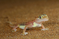 Web-footed Gecko (Palmatogecko rangei) on a sand dune, Namib Desert, Namibia