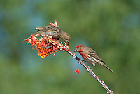 528800265 wild male and female house finches podocarpus mexicanus feeds on a flowering ocotillo foqueria splendens plant in southern arizona