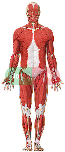 anatomical position muscles Quotes