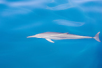Bottle-nose dolphins in the Bismarck Sea, PAPUA NEW GUINEA . Photo: Joliphotos.com