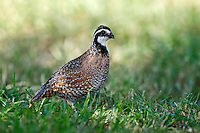 Northern Bobwhite Quail